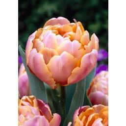 Тюльпаны Pink Star