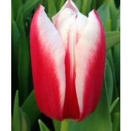 Тюльпаны Chacha