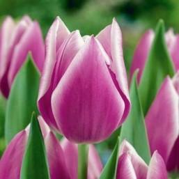 Тюльпаны Synaeda Blue