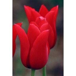 Тюльпаны Pretty Woman