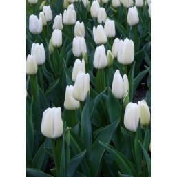 Тюльпаны Mrs. Medvedeva