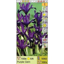 Ирисы ретикулята Purple Gem (x100) 5/6 (цена за шт.)
