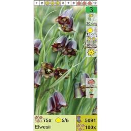 Рябчик Elwesii (x100) 5/6 (цена за шт.)