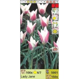 Тюльпаны ботанические Lady Jane (x150) 6/7 (цена за шт.)