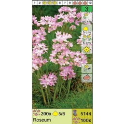 Лук Roseum (x100) 5/+ (цена за шт.)