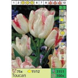 Тюльпаны Toucan (x100) 11/12 (цена за шт.)