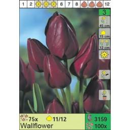 Тюльпаны Wallflower (x100) 11/12 (цена за шт.)