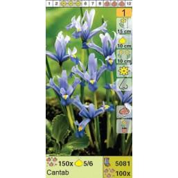 Ирисы ретикулята Cantab (x100) 5/6 (цена за шт.)