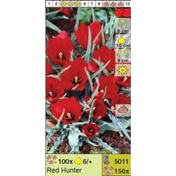 Тюльпаны ботанические Red Hunter (x150) 6/7 (цена за шт.)
