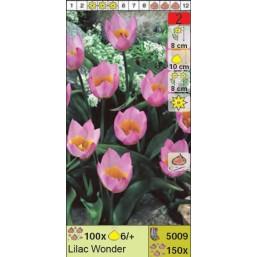 Тюльпаны ботанические Lilac Wonder (x150) 6/+ (цена за шт.)