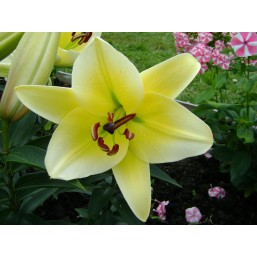 Лилии Oriental Hybrid Lilies White Striped Yellow в контейнере