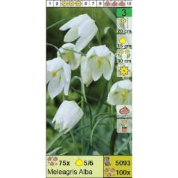 Рябчик Meleagris Alba (x100) 5/6 (цена за шт.)