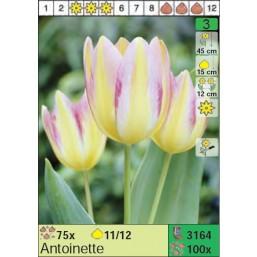Тюльпаны Antoinette (x100) 11/12 (цена за шт.)
