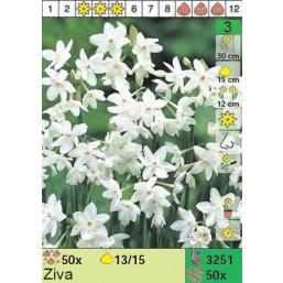Нарциссы Ziva (x50) 13/14 (цена за шт.)
