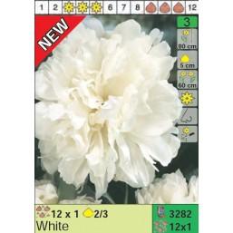 Пионы White (x12) 2/3 (цена за шт.)