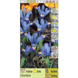 Ирисы ретикулята Gordon (x100) 5/6 (цена за шт.)