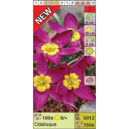 Тюльпаны ботанические Odalisque (x150) 6/7 (цена за шт.)
