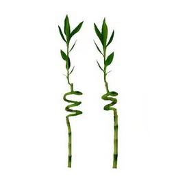 Драцена сандерса Lucky Bamboo 5.0 40