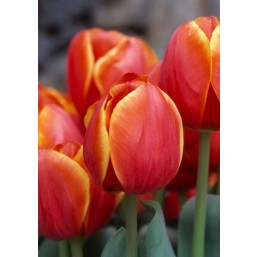 Тюльпаны Titan