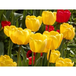 Тюльпаны Apeldoorn