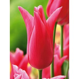 Тюльпаны Jacqueline