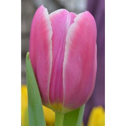 Тюльпаны Tanija