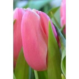Тюльпаны Kiska