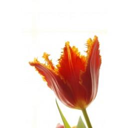 Тюльпаны Tatjana