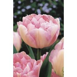 Тюльпаны Finola