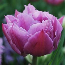 Тюльпаны Double Price