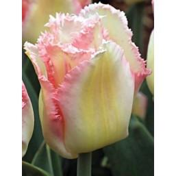 Тюльпаны Lingerie