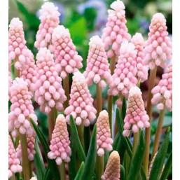 Мускари  Pink Sunrise (x200) 5/6 (цена за шт.)
