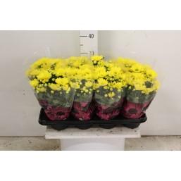 Хризантема indica Tobago 14.0 30