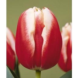 Тюльпаны Leen van der Mark