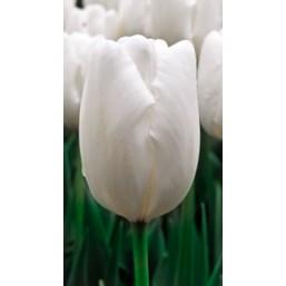 Тюльпаны Hakuun  (Parade White)