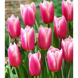 Тюльпаны Kadima