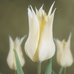 Тюльпан лилиецветный Sapporo 11/12, шт