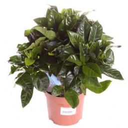 Гардения jasminoides 13.0 27