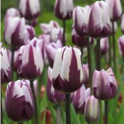 Тюльпаны  Rem's Favourite 12/+