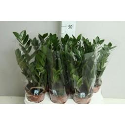 Замиокулькас Zamiifolia 14.0 55