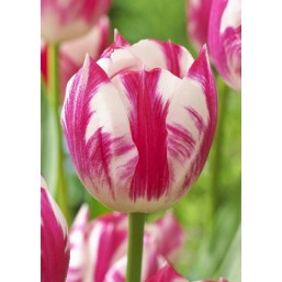 Тюльпаны Caramba