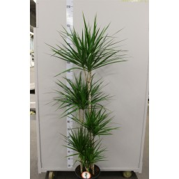 Драцена marginata Bicolor 10.0 40