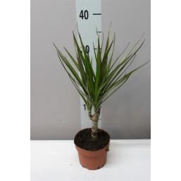 Драцена marginata 60-30-15 21.0 120