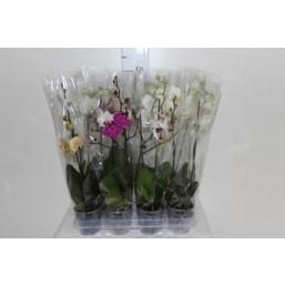 Орхидея Phalaenopsis d9 h40