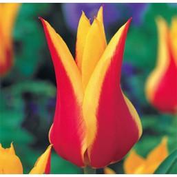 Тюльпаны Synaeda Amor