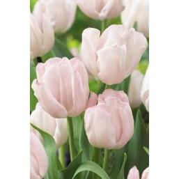 Тюльпаны Rejoyce