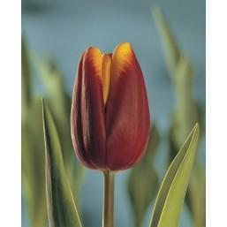 Тюльпаны Abu Hassan