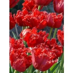 Тюльпаны Maywood