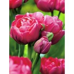 Тюльпаны Adore