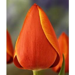 Тюльпаны Ad Rem